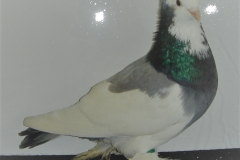 alfoldi-buga-galambok-14